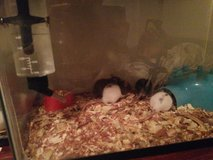 baby rats males and females in Houston, Texas