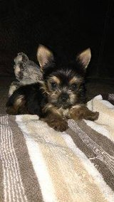 2 female and 1 male Teacup Yorkie puppies in Hattiesburg, Mississippi