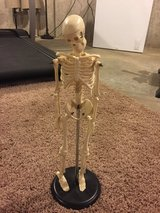 Plastic desk top human male skeleton model with stand in Naperville, Illinois