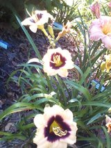 "Daylily, ""Pandora's Box"" in Warner Robins, Georgia"