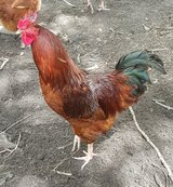Rooster in Fort Polk, Louisiana