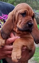 Bloodhound puppies in Moody AFB, Georgia