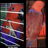 Lost Eclectus Parrot in Houston, Texas