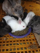 Bunnies (Californian mix and black New Zealand) in Houston, Texas