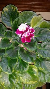 African Violet 1 in Houston, Texas
