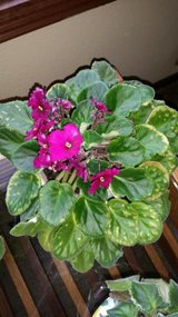 large African Violet in Houston, Texas