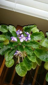 large African Violet 3 in Houston, Texas