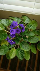 large African Violet 4 in Houston, Texas