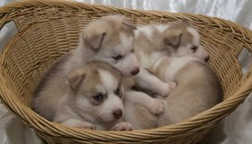 Sweet lovable Siberian Husky Puppies Ready For Adoption in Dover AFB, Delaware