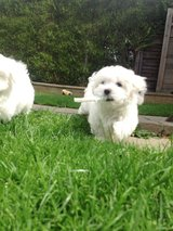 Cute Malteser Both males and females puppies in Los Angeles, California