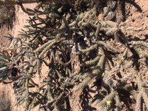 Free cholla cactus for wood in Alamogordo, New Mexico