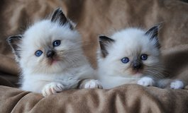 male and female Ragdoll kittens for sale in San Angelo, Texas