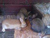 rabbits in Conroe, Texas