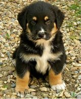 contact us now for cute rottweiler puppies available for sale in San Angelo, Texas