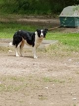 Border Collie in Houston, Texas