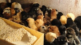Baby Chicks in Fort Gordon, Georgia