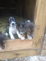 Beagle pups for sale in Beaufort, South Carolina