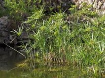 Papyrus plants for your pond in Alamogordo, New Mexico