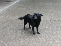 Black Chihuahua in Fort Lewis, Washington