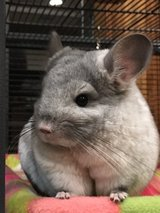 1 yr old Chinchilla with large two story cage. in Conroe, Texas