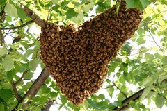 HONEY BEE SWARMS COLLECTED in Fort Campbell, Kentucky