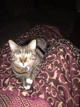 Lost Tabbie with white paws in Woodstream in Houston, Texas
