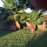 Mexican fan Palm in Spring, Texas