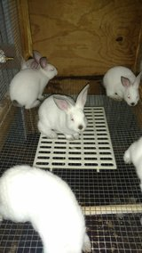 Pure breed Californian rabbits UPDATE in Houston, Texas