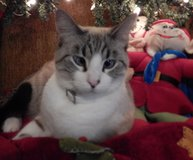 Re-ward $200 for lost white and gray cat in Conroe, Texas