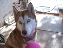 Red Siberian Husky, Remmy is her name, shots current and Spay in Alamogordo, New Mexico