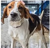 Hound Dog, Family Pet Needs Home in Elizabeth City, North Carolina