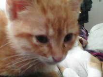 orange tabby female kitten in Barstow, California