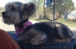 Lost Female Yorkie in Lawton, Oklahoma