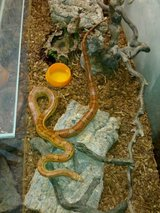 Cool Corn Snake in Ansbach, Germany