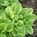 HOSTA 'GOLDEN TIARA' green/gold IN POTS in Glendale Heights, Illinois