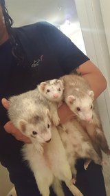 3 adorable FERRETS and HUGE cage for sale! in Kingwood, Texas