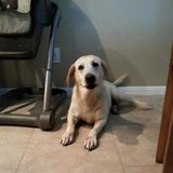 Lost 14 year old lab in Houston, Texas