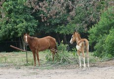 Solid Paint Gelding 6 yrs old Paint/TN Walker in Conroe, Texas