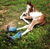 3 yr old Paint Gelding in Conroe, Texas
