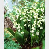 lily of the valley plants in Ramstein, Germany