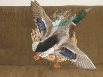 Taxidermy Flying Mallard Duck (Wall hanging mounted on a wreath) in Lake Elsinore, California