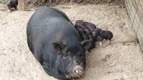 Potbelly Piglets - not Micro or Teacup in Aiken, South Carolina
