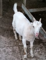 LaMancha Billy Goat - Just Weaned in Aiken, South Carolina
