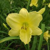 Reblooming Daylilies- 'HAPPY RETURNS', Yellow, Pots or Clumps in Bolingbrook, Illinois