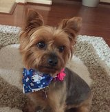 Lost Yorkshire Terrier in Conroe, Texas