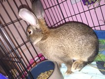 Bunny for Sale with Complete setup cage/food in Camp Lejeune, North Carolina