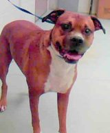 LOST. MOE.  Brown/white Pitbull/Boxer. in Conroe, Texas