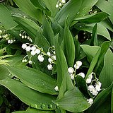 LILY OF THE VALLEY: Shade groundcover in pots in St. Louis, Missouri