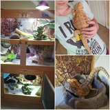 Bearded dragons in Beaufort, South Carolina