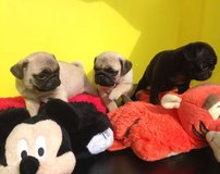 Pug Puppies available in Hohenfels, Germany